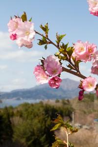 山田町の桜
